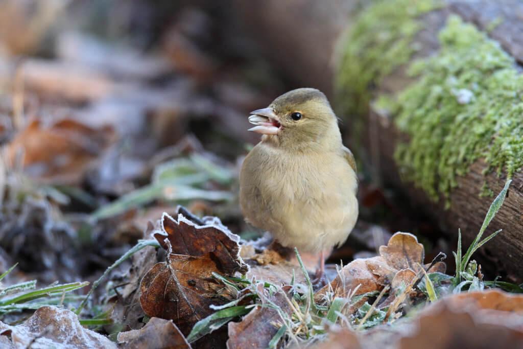Buchfink im Herbstlaub