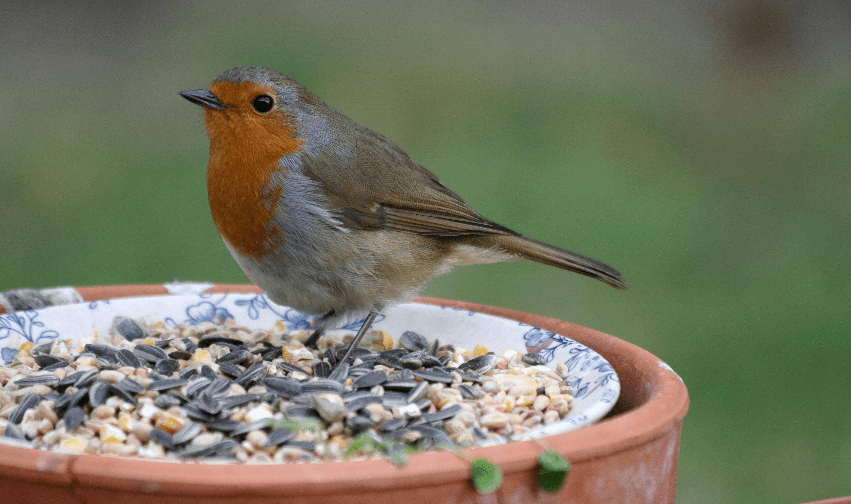 Rotkehlchen an Vogelfutter