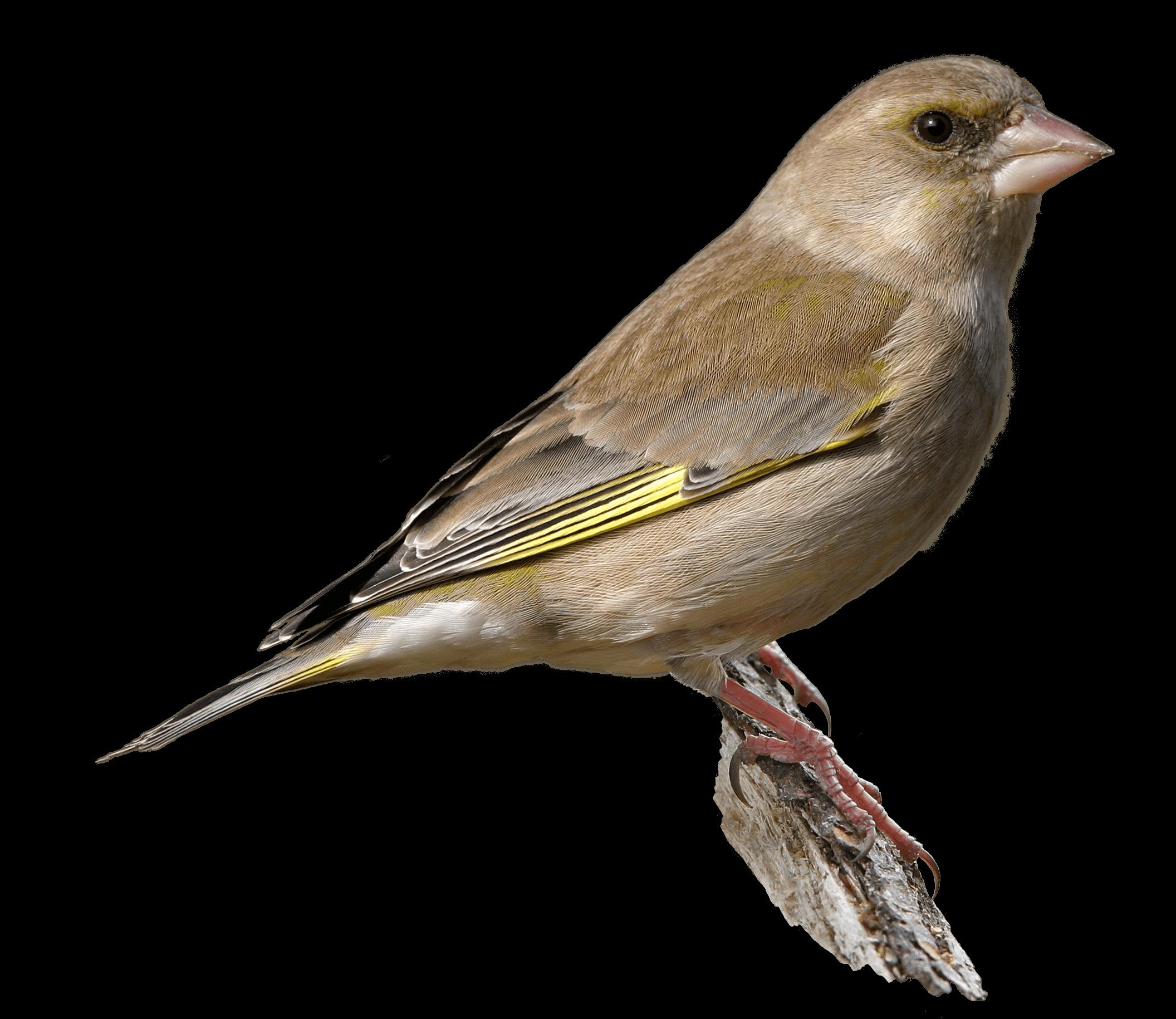 Grünfinkweibchen