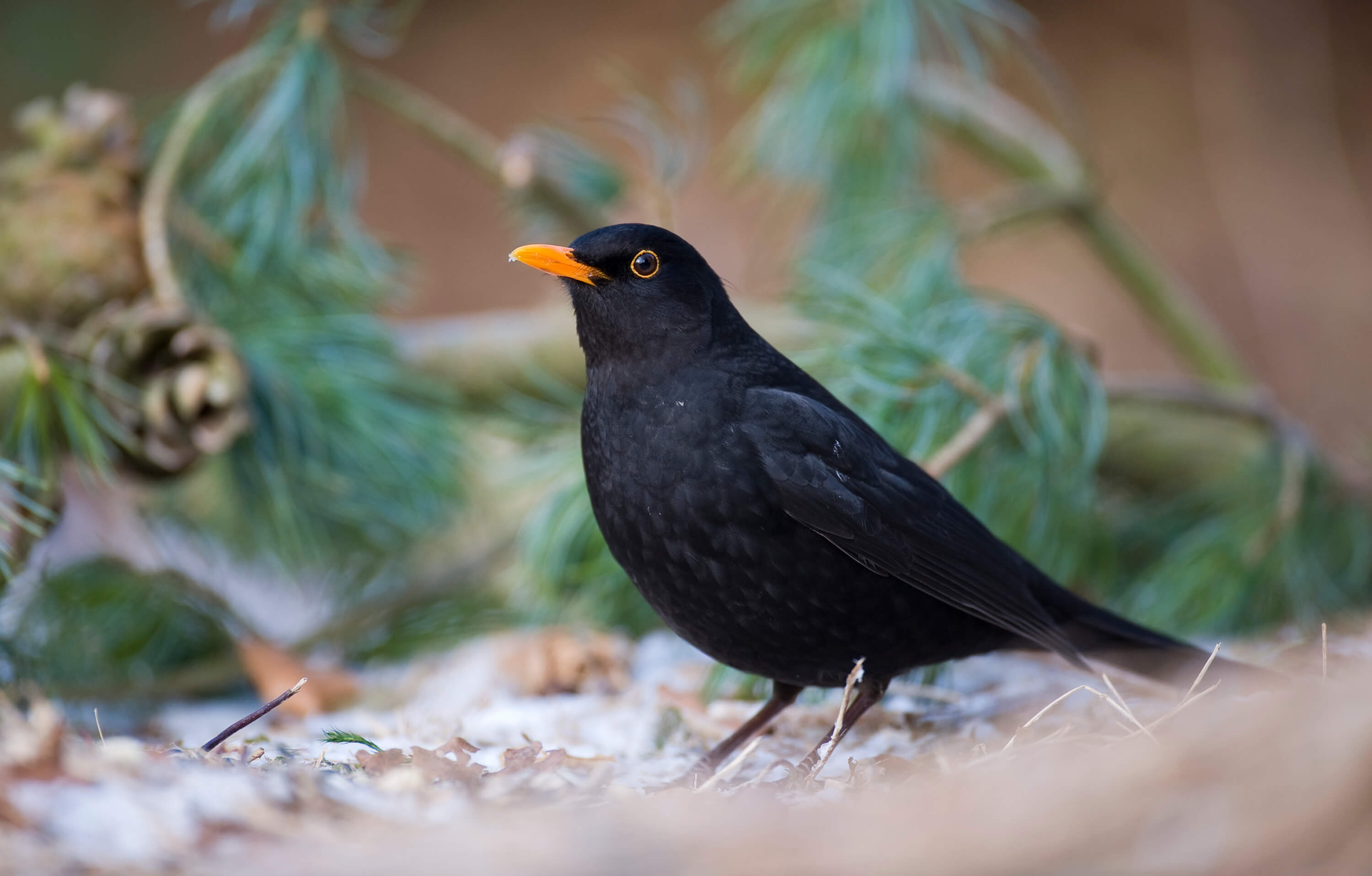 Amsel Beobachtung