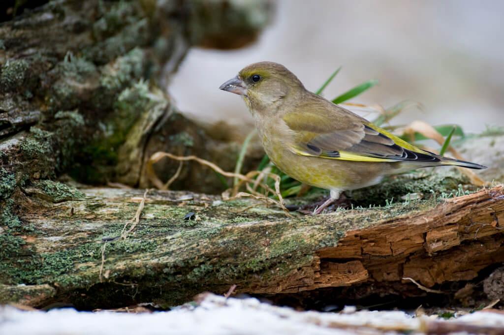 Gruenfink an der Winterfuetterung, carduellis chloris, european greenfinch, Nahrungssuche; Niedersachsen; Vogel; Wald; Winterfuetterung; Fink, gruen
