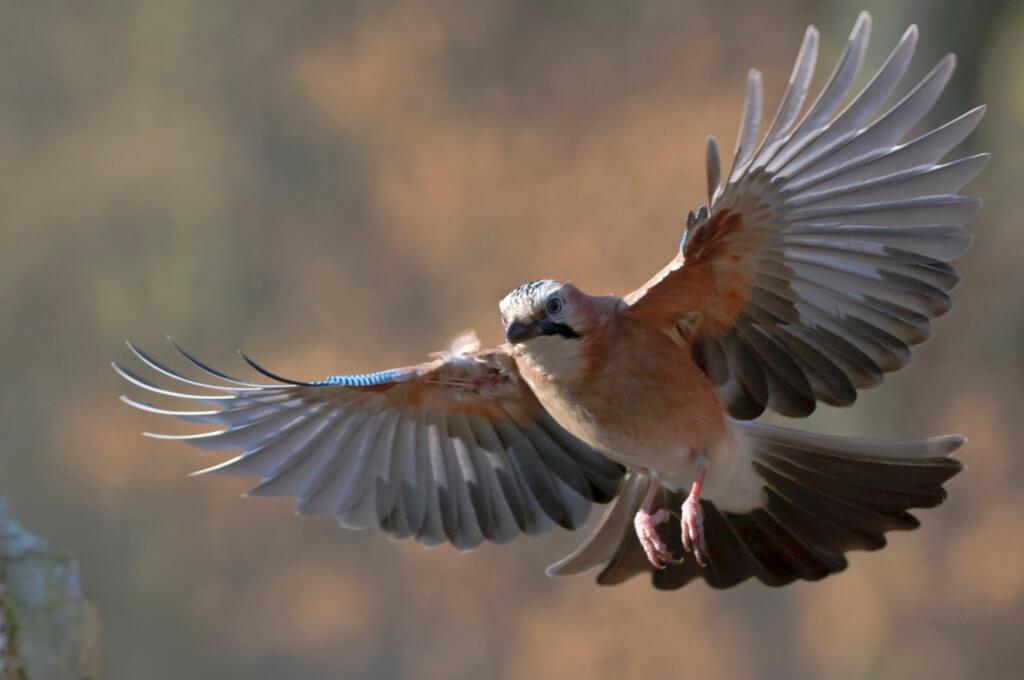 Eichelhäher (Garrulus glandarius) im Flug