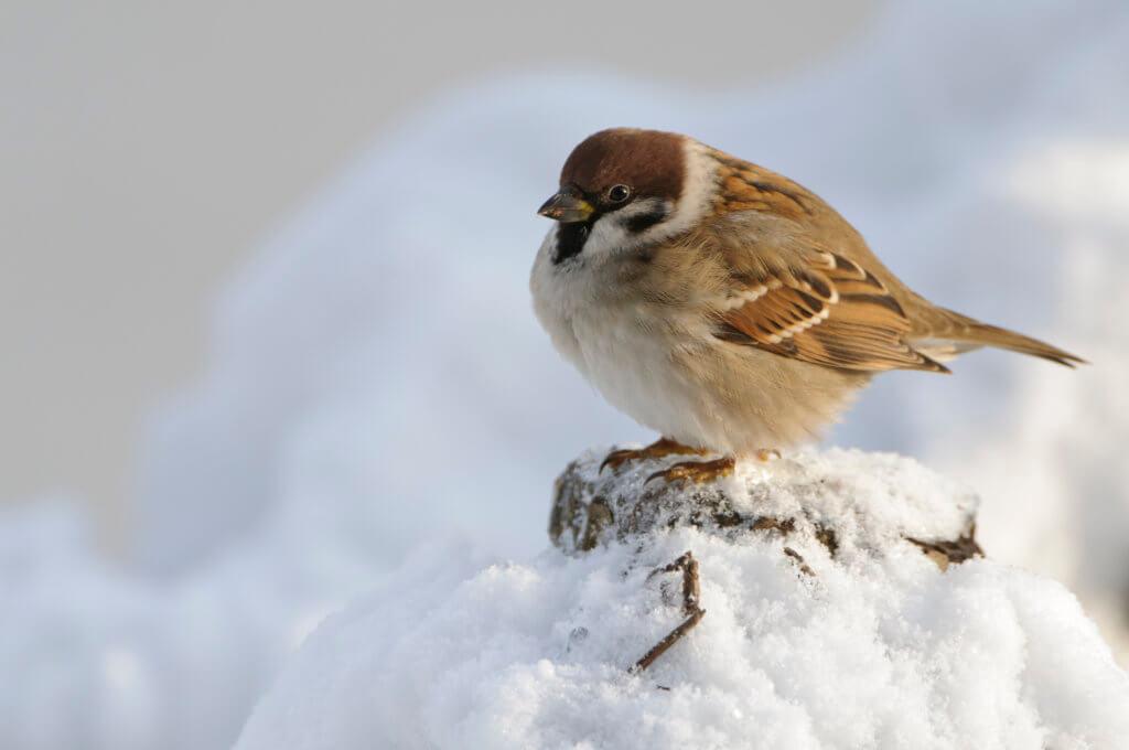 Feldsperling im Schnee