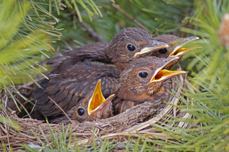 Amseljunge im Nest
