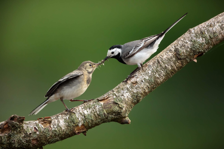 Bachstelze füttert Jungvogel
