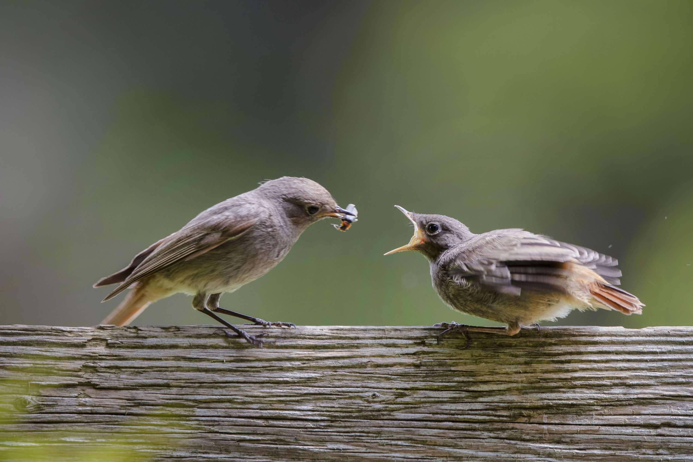 Hausrotschwanz-Weibchen füttert Jungvogel
