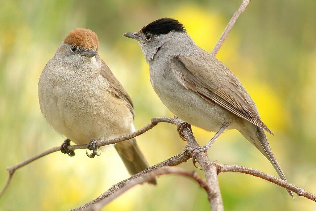 Moenchsgrasmücke - Weibchen (links) und Männchen