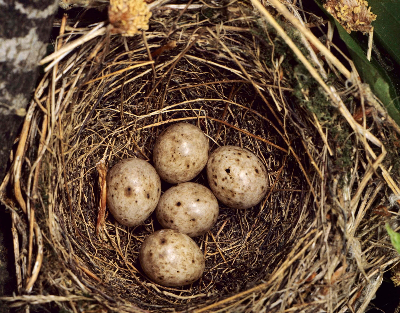 Mönchsgrasmücken-Eier