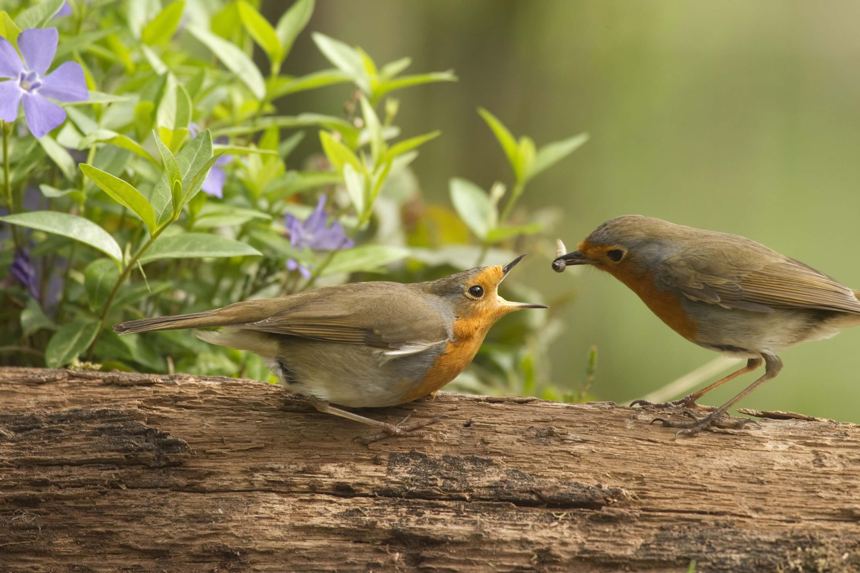 Rotkehlchen-Männchen beeindruckt ein Weibchen indem es ihr Futter bringt