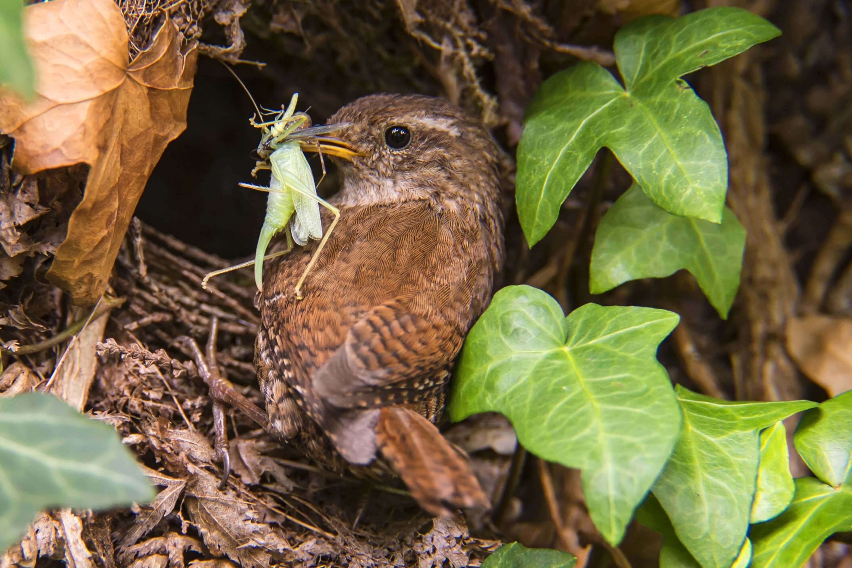 Zaunkönig am Nest